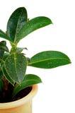 Ficus-Blätter Lizenzfreie Stockfotos
