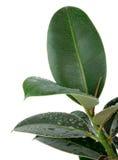 Ficus-Blätter Stockbild