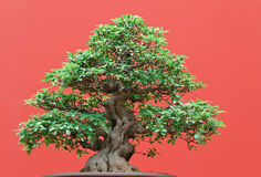 Ficus bonsai Stock Photo