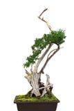 Ficus Bonsai Royalty Free Stock Photography