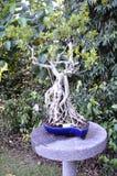 Ficus Bonsai Stock Image