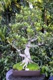 Ficus Bonsai Stock Images