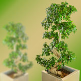 Ficus bonsai dwarf tree on gradient blurred background Stock Images