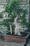 ficus bonsai in a green house Stock Photo