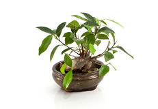 Ficus bonsai tree. A bonsai tree in decorative bowl against a white background Royalty Free Stock Images