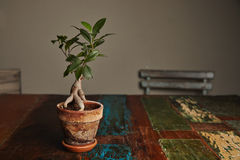 Ficus bonsai tree on old wooden table. Beautiful green ficus tree grown as a ginseng bonsai in a rustic stained clay pot on a rough old wooden table with peeling stock photo