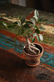 Ficus bonsai tree on old wooden table Stock Images