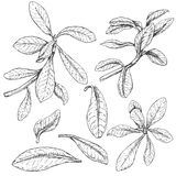 Ficus Branches  Sketch. Hand drawn branches and leaves of tropical plants. Ficus sketch Stock Image