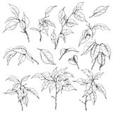 Ficus branches sketch. Hand drawn sketch of tropical plants. Doodle ficus branches  and leaves set. Black and white  floral elements for coloring Royalty Free Stock Image