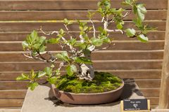 Ficus carica Stock Images