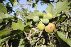 Ficus Carica Stock Image