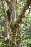 Ficus carica Royalty Free Stock Photos