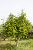 Ficus carica/ Common Fig (Ficus) young green fruit on twig Royalty Free Stock Image