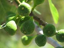 Ficus carica Royalty Free Stock Image