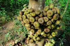 Ficus carica selvaggio Fotografia Stock