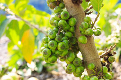 Ficus carica tailandese Immagini Stock