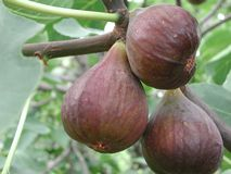 Branch with black ripe figs stock photos