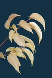 Ficus Curly branch on blue Stock Photo