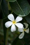 Ficus da flor Fotografia de Stock Royalty Free