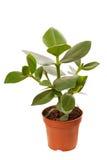 Ficus dans le bac image stock