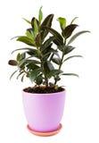 Ficus dans le pot de fleurs Photo libre de droits
