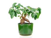 Ficus de bonsaïs image stock