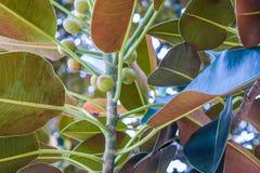 Ficus de figue de baie de Moreton de feuilles de ficus le vieux s'est littéralement développé avec Beverly Hills au cours des ann images stock