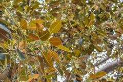 Ficus de figue de baie de Moreton de feuilles de ficus le vieux s'est littéralement développé avec Beverly Hills au cours des ann photos stock