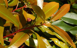 Ficus de florescência da mola Fotos de Stock Royalty Free