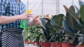 Ficus de pulvérisation de fleuriste en serre chaude clips vidéos