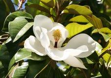 Ficus delicados de la flor blanca Fotografía de archivo libre de regalías