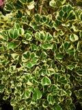 Ficus deltoidea jack tropical plant stock photos