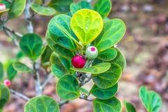Ficus deltoidea Royalty Free Stock Photo