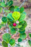 Ficus deltoidea Royalty Free Stock Images
