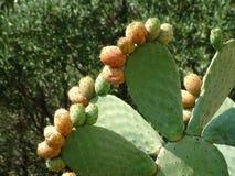 Ficus di Cactacea Fotografia Stock Libera da Diritti