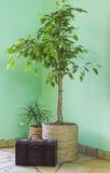 Ficus, dracaena et coffre de Benjamin Image stock