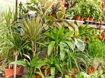 Ficus, Dracena are decorative plants Stock Photography