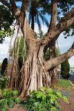 ficus drzewo Fotografia Stock
