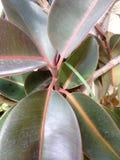 Ficus drzewo z dużymi liśćmi Fotografia Stock