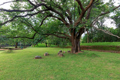 ficus duży drzewo Obrazy Royalty Free