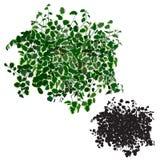 Ficus dwergachtig in kleur en silhouet Royalty-vrije Stock Fotografie