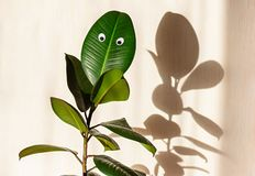 Ficus elastic plant, rubber tree on a background of a light wall. Googly eyes on the leaves. Shadows on the wall