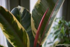 Ficus elastica «Tineke «gumowa roślina obraz stock
