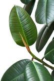 Ficus elastica Stock Image