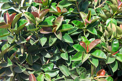 Ficus elastica Stock Photos