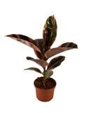 Ficus Elastica Belize Stock Image