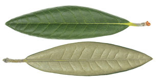 Ficus elastica Blatt Stockfotografie