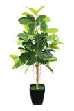Ficus elastica (Indian Rubber Bush) in black flowerpot on white Stock Photos