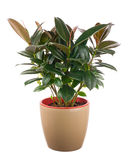 Ficus elastica (Indian Rubber Bush) in light brown flowerpot. Stock Images