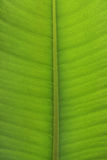 Ficus elastica leaf close-up Stock Photo